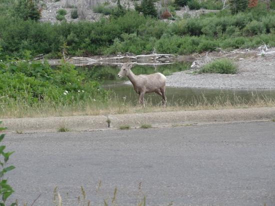 Two Medicine Campground: Big Horn ewe that crossed creek in campground