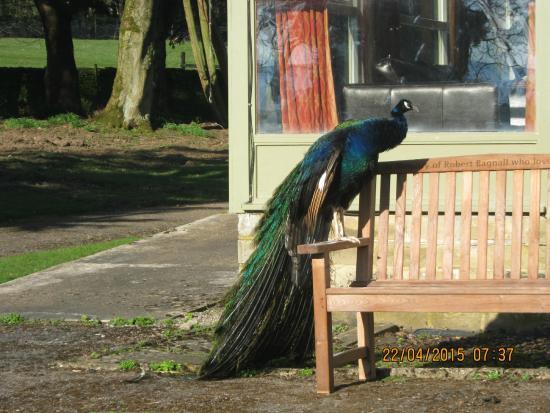 Thornton Lodge: The friendly peacock