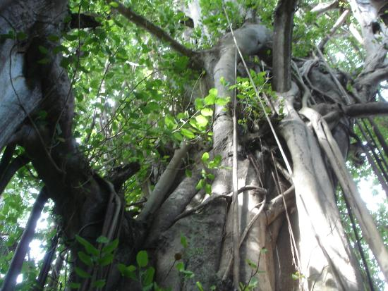 Kuramathi: Alter Baum