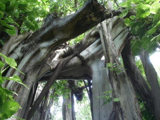 Kuramathi: Ältester Baum der Insel