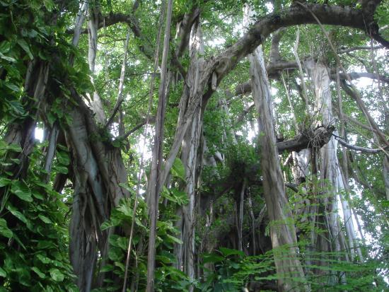 Kuramathi: Ältester Baum