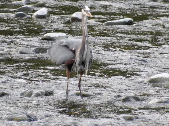 Pacific Playgrounds International RV Park, Cottages, Marina: Heron fishing