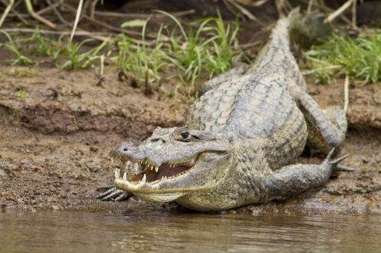 Pininos Adventures: Croc