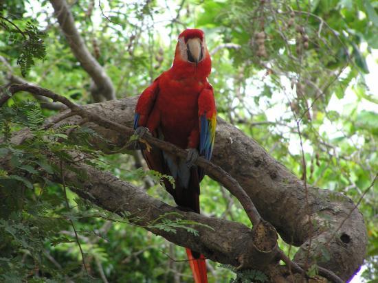 Pininos Adventures: Scarlet macaw