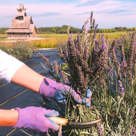 Island Lavender Harvest - Picture of Island Lavender Farm Market ...