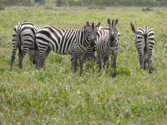 Arba Minch, Ethiopia: Zebras  - Nechisar NP
