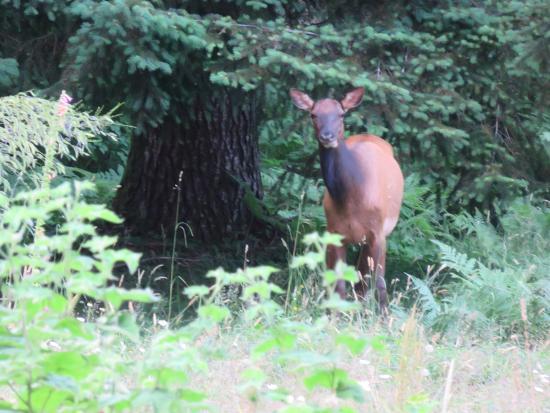 Huckleberry Lodge Cabins: Elk