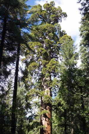 Bull Buck Tree, largest tree in Nelder Grove