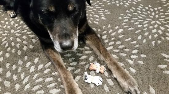 La Quinta Inn & Suites Spokane North: my old pup with the treats she was given