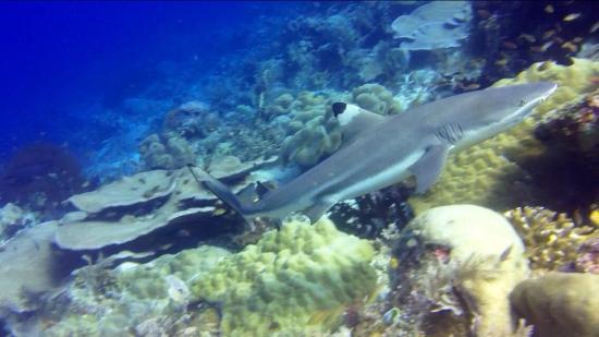 Raja Ampat Dive Resort: One of the many black tip sharks at Cape Kri dive spot