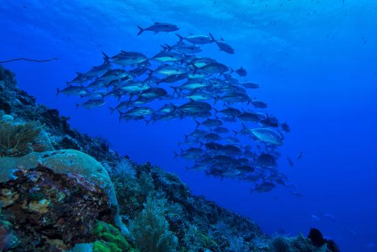 Murex Dive Resort: Schooling Jackfish at Manado Tua