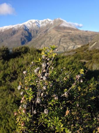 Eco Wanaka Adventures: manuka plants against the mountain backdrop