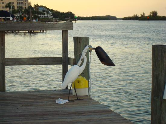 The Palm Bay Club: Bird friends on the dock, bay side
