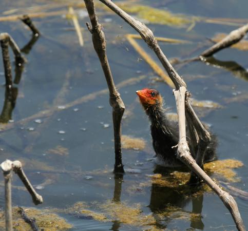 Agia, Grèce : Coot chick inspecting spider's web