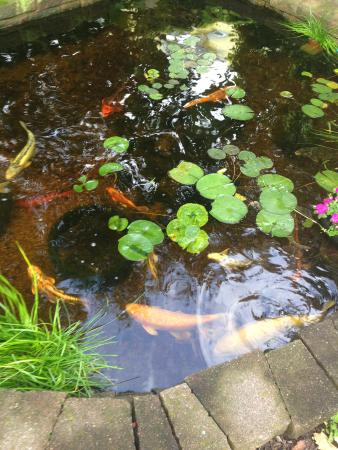 Koi pond picture of cozy koi bed and breakfast lansing for Koi ponds near me
