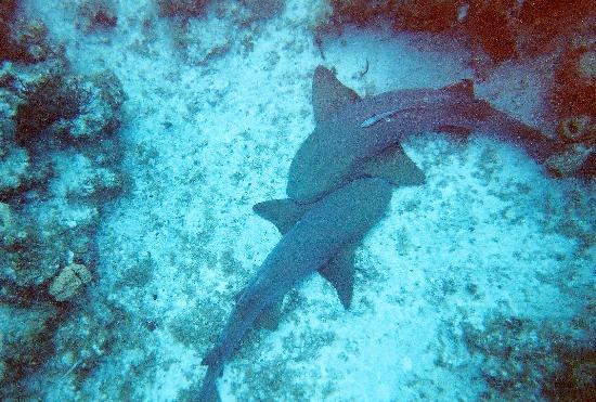 George Town, Gran Caimán: The reef provided lots of big fish... in this case two nurse sharks.  DD knows where to give you