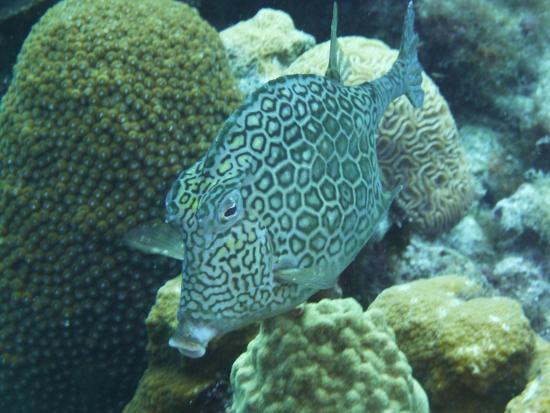 Divers Republic: Kofferfisch
