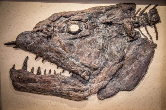 Lincoln City, Oregón: Xiphactinus Fossil fish