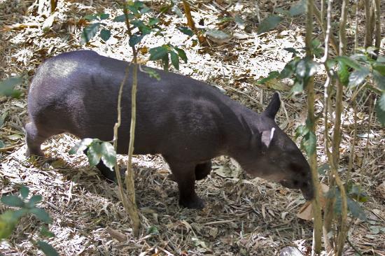 Alajuela, Costa Rica: Baird's Tapir