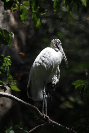 Alajuela, Costa Rica: Wood Stork