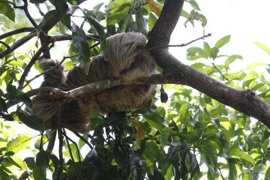 Alajuela, Costa Rica: Sloth