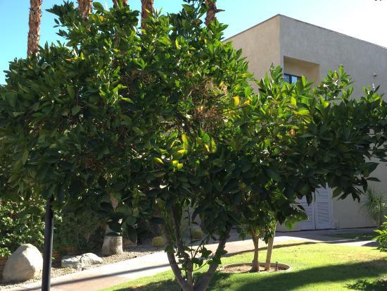 Desert Isle Fruit Trees Picture Of Desert Isle Of Palm Springs