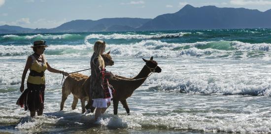 Alpaca Beach Walk: 14 March 2015