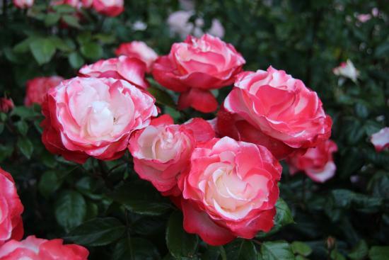 Gasthof Bannesdorf Inh. Matthias Meetz: Pihalla paljon ruusuja