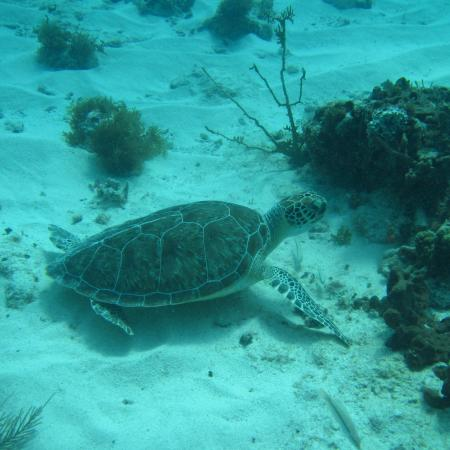 Grand Case, St. Maarten: Turtle