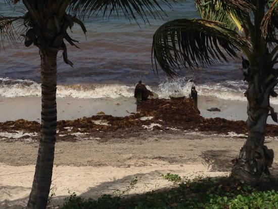 Divi Carina Bay All Inclusive Beach Resort: Seaweed on beach