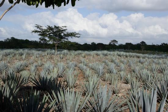 Mayapan Traditional Agave Distillery : Tequila