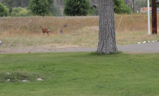 Evergreen Motel: Deer in front of the motel room