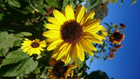 Gumtree on Gillies B&B: Sunflowers in the veggie patch
