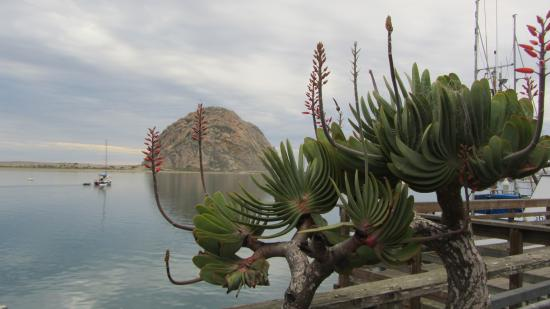 Image result for Morro bay cactus