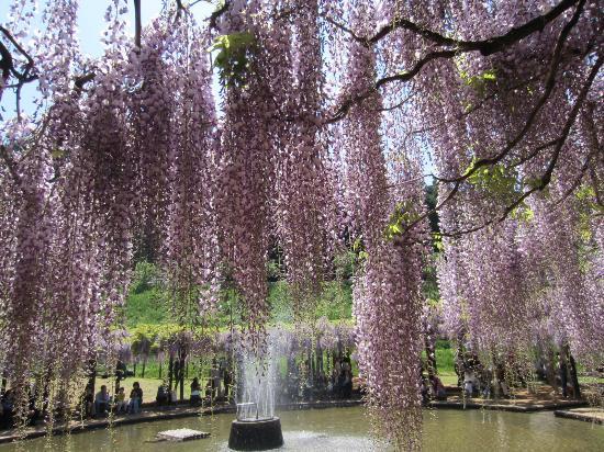 Asago, Japón: 噴水の周りにもぐるりと藤が。お弁当を食べる家族連れもいました。