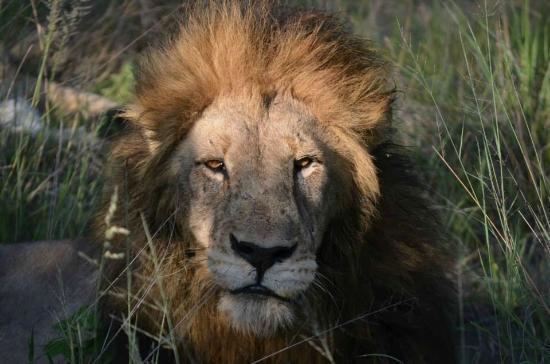 Djuma Game Reserve, Νότια Αφρική: lion