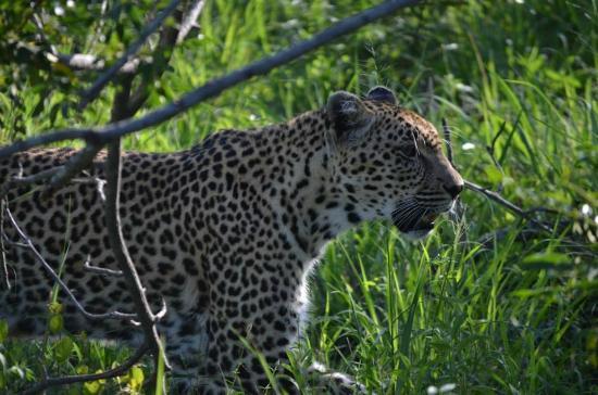 Djuma Game Reserve, แอฟริกาใต้: leopard mama