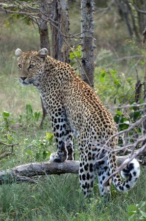 Djuma Game Reserve, Νότια Αφρική: leopard