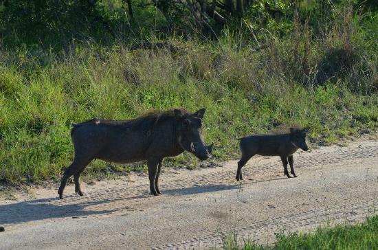 Djuma Game Reserve, แอฟริกาใต้: warthogs