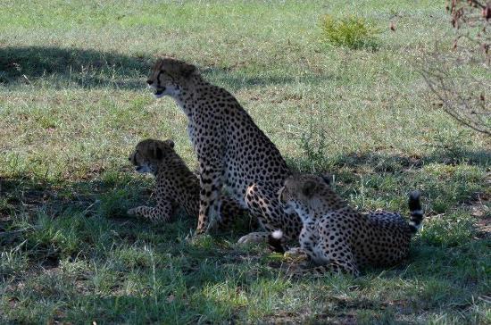 Djuma Game Reserve, แอฟริกาใต้: cheetahs