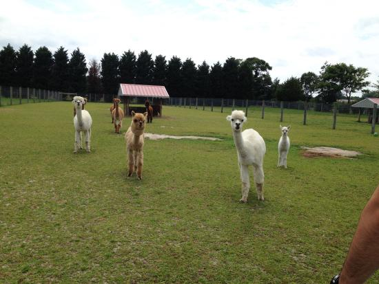 Egg Harbor City, Nueva Jersey: Silver Fox Farm Alpacas