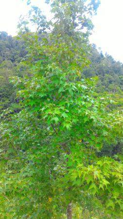 Meambar Tree