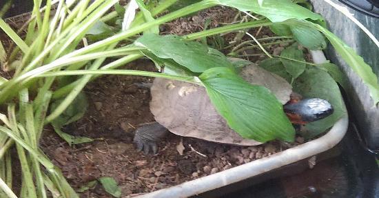 Up Yonda Farm Environmental Education Center: rescued turtle