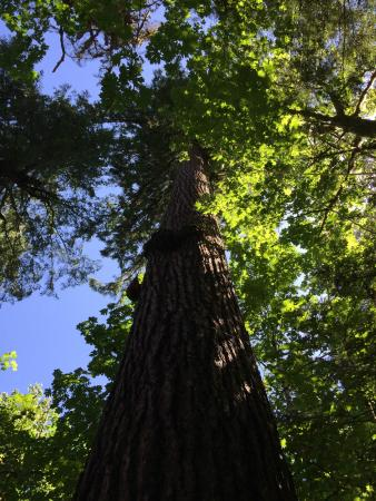 Pacific Tree Climbing Institute : Looking up.