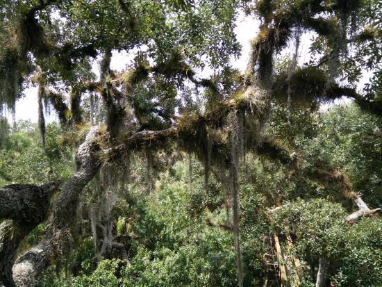 Myakka State Forest: Härlig mossa från träden