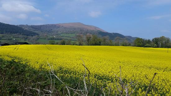 Hardwick Farm Bed & Breakfast: Our oil seed rape fields