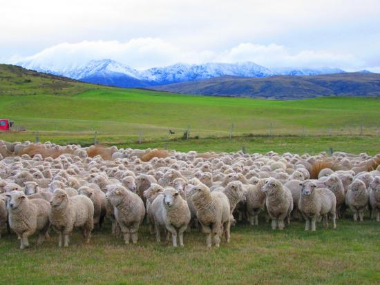 Wedderburn, Nueva Zelanda: Sheep