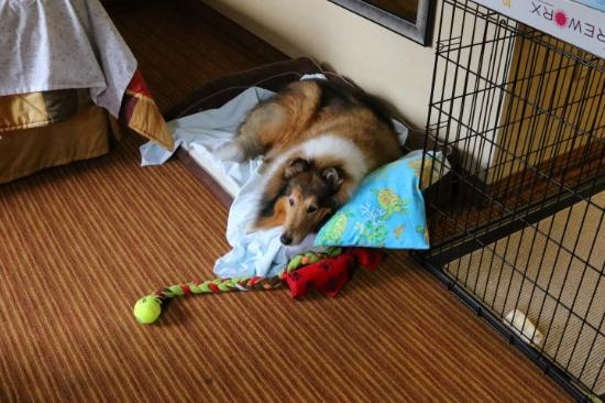 MainStay Suites of Lancaster County: Our relaxed collie