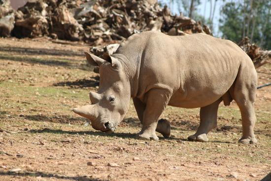 Zoo Santo Inácio : Rino