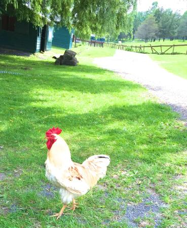 Mr  Peabody - friendliest rooster ever - Picture of Catskill